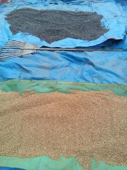 9-26麦とひまわり.jpg